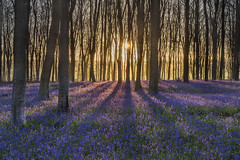 Bluebell Sunrise (peterspencer49) Tags: uk trees bluebells forest sunrise woods shadows peterspencer peterspencer49