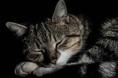 Relaxing after a long hard nap (NikNak Allen) Tags: sleeping portrait pet face animal cat fur nose eyes sleep stripes ears paws catportrait