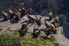 ItsusikoHarria-52 (enekobidegain) Tags: mountains montagne vultures monte euskalherria basquecountry bui pyrnes pirineos mendia buitres paysbasque nafarroa pirineoak bidarrai saiak vautours itsasu itsusikoharria