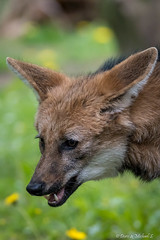Mhnenwolf / Maned wolf (Doris & Michael S.) Tags: mhnenwolf tiere animals aguarguaz loupcrinire manedwolf   tiergarten