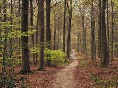 The Jogger (Netsrak) Tags: trees tree nature leaves forest germany way deutschland leaf spring woods outdoor path natur eifel nrw blatt wald bltter bume baum nordrheinwestfalen jogger weg frhling waldweg rheinbach forst