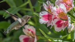 Alstro Hummer 3 (pictureted) Tags: nikon hummingbird alstroemeria d500 200500vr