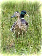 Mr & Mrs Mallard (Margaret S.S) Tags: male female ducks drake mallards