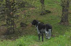 Mastik (bulbocode909) Tags: nature vert arbres avril printemps chiens forts