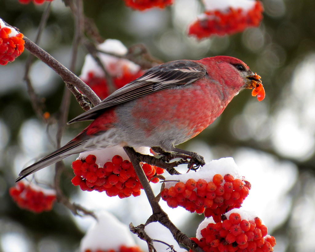 the world u0027s newest photos of berries and pinegrosbeak flickr