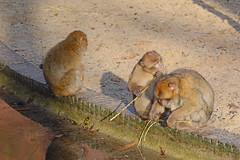 Berberaffen im Ouwehands Dierenpark Rhenen (Ulli J.) Tags: netherlands zoo utrecht nederland paysbas rhenen niederlande magot ouwehandsdierenpark barbaryape barbarymacaque berberaap berberaffe macaqueberbre nederlandene berberabe