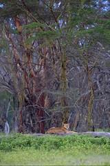 A Lioness lying on a tree (Dave 79) Tags: lake tree kenya lion lioness kenia baum nakuru lwe lwin liegend