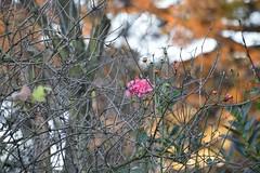 24.12.2015 (hwl.weber) Tags: winter weihnachten outdoor pflanzen kln rosen wetter nikond3200