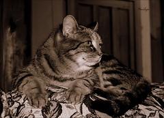 Son temps  elle est un miroir o n'habitent que les profils de ses rves.  Adonis De Adonis / Mmoire du vent (Bouteillerie) Tags: cats pets animal cat canon chats chat tabby marguerite flin pourlamourdeschats catmoments catnipaddicts bouteillerie catsoncamera