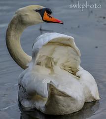 birds (swkphoto) Tags: park birds grey pond gull glen swans wagtail rspb rouken galsgow