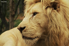 White lion (Setsukoh) Tags: park white france male animal proud cat zoo big frankreich chat king leo lion atlas lorraine parc blanc metz mosel roi flin moselle zoopark fauve panthera fier bouba animalier amnville lothringen zooparc