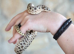 Serpiente hocico de cerdo (Heterodon nasicus), Mxico. (eustoquio.molina) Tags: snake culebra cerdo serpiente hocico heterodon nasicus