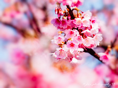 @ () Tags: park travel pink flowers trees light sky white plant flower macro tree castle nature japan garden cherry spring blossom bokeh blossoms sigma olympus apo  cherryblossom  sakura cherryblossoms   f28 cherrytree e30 cherrytrees    cherryblossomfestival     150mm  sigma150mmmacro  sigma150mmf28  150mmf28 sigmamacro150mmf28  sigmaapomacro150mmf28