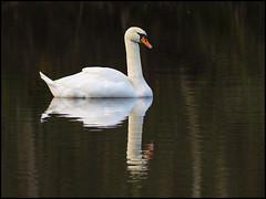Mute Swan (John R Chandler) Tags: uk bird swan unitedkingdom coventry westmidlands warwickshire muteswan cygnusolor wildfowl brandonmarsh warwickshirewildlifetrust