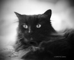 Black Cat (Mark Cassino) Tags: cat blackcat pentax6x7 classicpan400 takumar105mmf24
