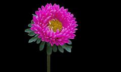 Matsumoto Aster Flower (12bluros) Tags: pink flores flower macro floral leaves yellow closeup blackbackground flora 1001nights matsumoto nybg aster newyorkbotanicalgarden onblack macrophotography florets chineseaster canonef100mmf28lmacroisusm 1001nightsmagiccity yellowflorets