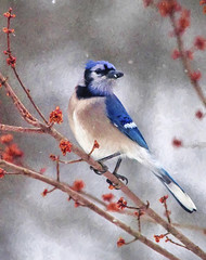 Red, White and Blue Jay! (Deb Felmey) Tags: blue snow bird nature wildlife bluejay birdwatching