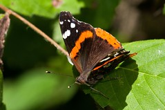 2015  Red Admiral (Vanessa atalanta) 28 (DrLensCap) Tags: county railroad red vanessa chicago abandoned robert forest bug way insect spur illinois woods track pacific district union cook trails right il trail rails to admiral preserve kramer weber preserves atalanta labagh of