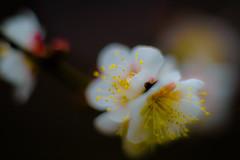 Winter flowers - Plum (Mototaka Tsujima) Tags: winter flower nature japan garden botanical tokyo nikon f14 日本 東京 花 自然 58mm 冬 nokton 梅 koishikawa d610 小石川植物園 ニコン ノクトン