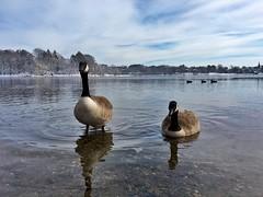 Geese on Jamaica Pond ((Jessica)) Tags: winter bird ice nature water animal boston mobile frozen geese pond wildlife massachusetts newengland goose pw iphone emeraldnecklace jamaicapond wildlifewednesday