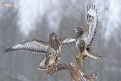 Buzzards (Nicola Destefano) Tags: winter snow bird animal wildlife fulllength poland nobody fighting polonia buteobuteo birdofprey openwings poiana twoanimals onaperch bialowiezanp