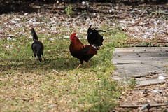 Canon201775 (godrudy6661) Tags: chickens chicken neworleans ninthward wildchicken feralchicken