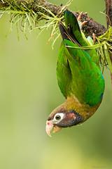 Brown-Hodded Parrot, (Pyrilia haematotis). Loro marron encapuchado. (Sergio Bitran M) Tags: bird costarica parrot ave loro 2016 psittaciformes pyriliahaematotis brownhoddedparrot loromarronencapuchado