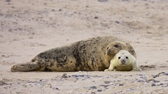 We have to look our best in the family picture! (proefdier) Tags: family winter baby cute cutie mum seal pup robbe halichoerusgrypus greyseal helgoland kegelrobbe düne