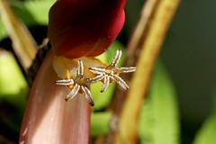 Musa coccinea   (ashitaka-f) Tags: red white flower coccinea musa musaceae