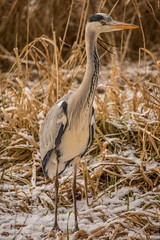 Graureiher - Winter (1) (Pana53) Tags: schnee winter snow fauna nikon outdoor tier vogel harburg reiher graureiher naturfoto nikond810 ausenmhlenteich pana53 naturundlandschaftsfotografie naturportrait photographedbypana53 sigmas150600mm