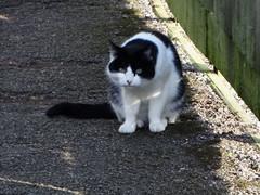 Random pussy cat ... (bazzadaramblerimages) Tags: cats cat feline pussy pussycat moggy moggie felinegroovy