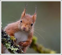 portrait (guiguid45) Tags: nature nikon squirrel animaux forêt écureuil sauvage loiret mammifères 500mmf4 d810