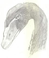 cisne negro a lpiz (ivanutrera) Tags: bird sketch drawing lapiz ave draw dibujo cisne lpiz dibujoalpiz