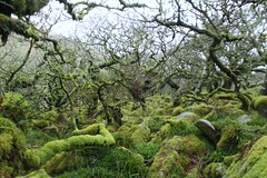 (elisecavicchi) Tags: wood uk england storm rain forest moss haze stones branches south united kingdom devon grasses dartmoor twisted wistmans