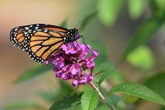 Monarch DSC_0161 (blthornburgh) Tags: nature closeup butterfly garden backyard monarch monarchdanausplexippus thornburgh