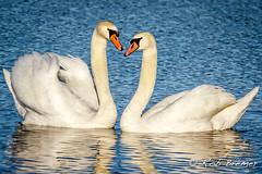 Knobbelzwaan / Mute Swan -2470 (rob.bremer) Tags: nature birds outdoor wildlife dunes natuur aves doornvlak duinen kennemerduinen muteswan cygnusolor bakkum knobbelzwaan watervogel noordhollandsduinreservaat