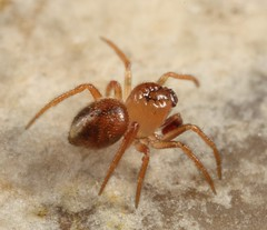 Tiny male spider (iainrmacaulay) Tags: male spider australia tiny