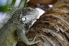 Iguana (Wim Bollein) Tags: tree eye animal head reptile iguana curaao matchpointwinner mpt498