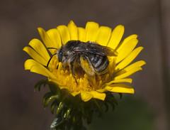 solitary longhorn (Jeff Mitton) Tags: bee solitarybee pollinator tarred wondersofnature earthnaturelife