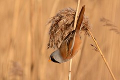 HNS_9940 Baardmannetje mn : Panure a moustache : Panurus biarmicus : Bartmeise : Bearded Reedling