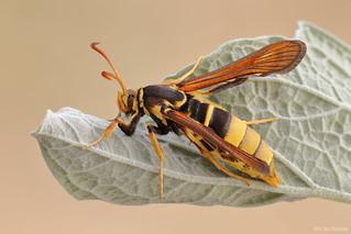 Western Poplar Clearwing Moth (Paranthrene robiniae)