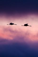 Grues (Grus grus) (Aicbon) Tags: wild naturaleza bird nature canon atardecer crane free cranes zaragoza ave cielo 7d aragon pajaro grua teruel roja bello gallocanta grulla daroca tornos grusgrus 100400 jiloca lascuerlas