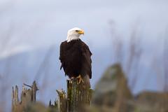 Bald Eagle (llsproat) Tags: eagle baldeagle raptor skagit february haliaeetusleucocephalus seaeagle