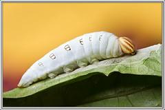 Skipper (J. Amorin) Tags: macro butterfly mariposa gusano catterpillar larva oruga larvas macuspana amorin mariposasdetabasco mariposasdemacuspana
