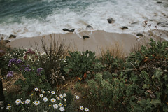 (edenkittiver) Tags: ocean california flowers friends roses plants film beach coffee shop la san cove like diego cliffs tattoos seal vida seals looks cave tribe copa succulents jolla lxc lookslikefilm archipaelo