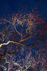 night plum festival (it05h1) Tags: light sky flower tree nature japan night landscape lights nightscape blossom blossoms plum illumination illuminated lightup nightsky nightview mito plumtree ibaraki plumblossom lighted plumblossoms japanscape it05h1
