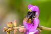 Mamangava (Alexandre Scheller) Tags: verde praia natureza flor abelha mato polem mamangava