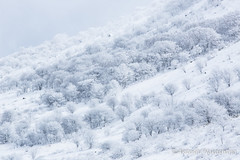 white snow of the tree (nakashy) Tags: trees winter white snow color colour tree nature beautiful japan canon landscape photography eos photo great 5d rime nagano 70200mm 200mm 2016 canoneos5dmarkiii 5dmk3 5d3 5dmark3