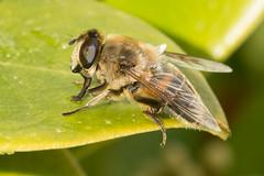 Hoverfly- Eristalis tenax (f) (linanjohn) Tags: uk macro nature wildlife lakedistrict insects cumbria syrphidae diptera borrowdale hoverflies eristalinae eristalistenax