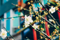 _MG_2158 (WayChen_C) Tags:   plumflower pingtung majia